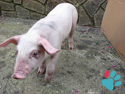 Calculate pig age in human years (equivalence)